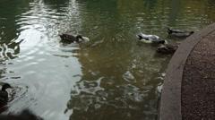 Ducks looking for food in water Stock Footage