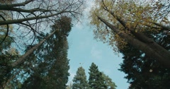 Leaves fall from the crown of tall trees in the fall in slow motion Stock Footage