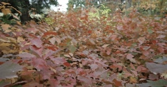 Forest of red leaves of oak-slow motion Stock Footage