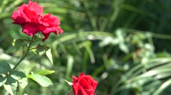Red Rose with Bokeh Effect 4K Nature Background Stock Footage