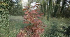 Oak with red leaves in a forest in autumn Arkistovideo