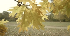 Oak branch with yellow leaves shaken by the wind in slow motion Stock Footage