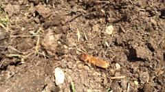 Mole cricket burrows into the manure in the village  Stock Footage