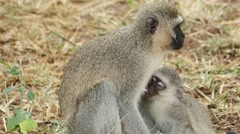 Capuchin mother baby suckling Stock Footage