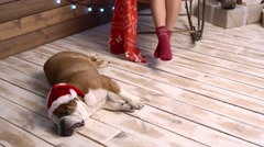 A girl playing with cute bulldog in red hat Stock Footage