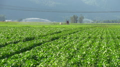 Agriculture, Belgian endive field, irrigated Stock Footage