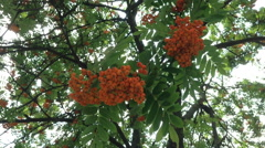 Red ripe rowan berries on a tree with green leaves. Stock Footage