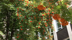 Branches of a mountain ash fluttering in the wind. Stock Footage