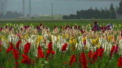 Agriculture, flowers growing in field, immigrant laborers working #2 Stock Footage