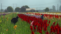 Agriculture, flowers growing in field, immigrant laborers working #1 Stock Footage