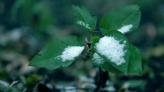 Early snow on the tree. Frosted green leaves. Close up video Stock Footage