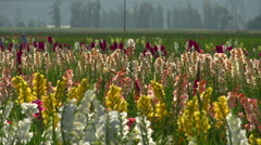 Agriculture, flowers growing in field, #3, very nice Stock Footage