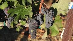 Ripe red grape Stock Footage