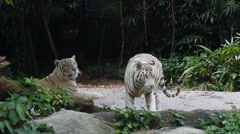 Two White Tigers in Jungles in Zoo Stock Footage