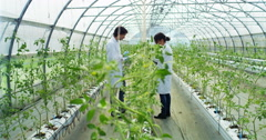 Greenhouse tomato research. concept of plant research and the future  Stock Footage