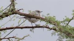 Blackstart Bird standing on a Branch Stock Footage