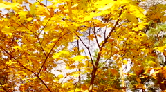 Multi colored autumn leaves of maple Stock Footage