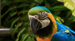 Closeup blue-gold Macaw parrot turns head Stock Footage