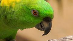 Closeup Green Parrot Turns Head Stock Footage