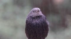 Tristram's grackle in the rain Stock Footage