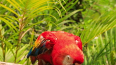 Closeup Man Feeds Red Parrot from Arm in KL Bird Park Stock Footage