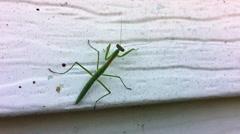 Praying Mantis Stock Footage