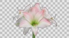 Time-lapse of opening amaryllis Apple Blossom flower with ALPHA channel Stock Footage