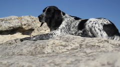 Spotted dog lying on the rocks Stock Footage