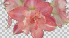 Time-lapse of opening Rozetta amaryllis Christmas flower with ALPHA channel Stock Footage