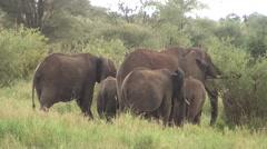 Wild Elephant (Elephantidae) in African Botswana savannah Stock Footage
