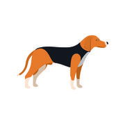 Beagle Dog - Vector color serious dog Beagle breed standing Stock Illustration