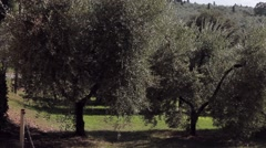 Olive trees and a vineyard on a hillside in Tuscany Stock Footage