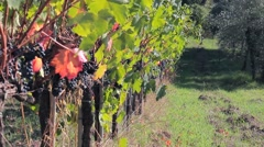 Panorama on the vine and a close-up of ripe bunch of dark grapes Stock Footage