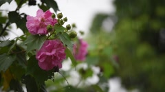 Cotton rose flower with water drops in rainy day, with sound Stock Footage