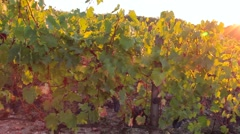 Vineyard with dark grapes for wine at sunset Stock Footage