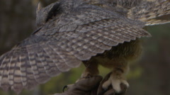 Horned owl on glove slow motion Stock Footage