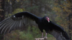 Turkey Vulture standing on stump Stock Footage