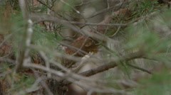 Horned owl tilt down to reveal in tree Stock Footage