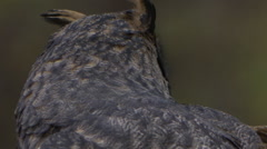 Horned owl pupil dialate slow motion Stock Footage