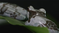 Milk frog - group of animals on leaves in jungle Stock Footage