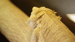 Bearded dragon crawling in terrarium Stock Footage