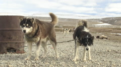 Huskies standing in a cold and deserted landscape. Stock Footage