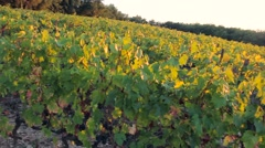 Vineyard in the evening at sunset in autumn - panning camera Stock Footage