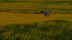 Hunting dog running in a field at sunset slow motion Stock Footage