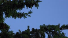 Focus change green spruce twig with large cones on blue sky. 4K Stock Footage