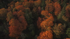 Aerial Flying Right Over Thick Trees in Fall Season Stock Footage