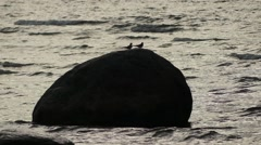 Inca tern (Larosterna inca) in family Sternidae Stock Footage