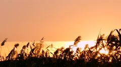 Peacefull sun over reed in windy day. Stock Footage