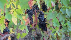 Great grape harvest at the old vine - Autumn in Tuscany Stock Footage