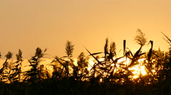 Peacefull sun in evening over reed. Stock Footage